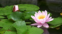 Pink flower of a lotus in a pond Stock Footage