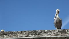 Pelican on the roof Stock Footage