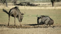 Blue wildebeest playing - stock footage