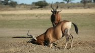 Red hartebeest antelopes playing Stock Footage