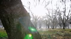 Almond Orchard with sprinklers dolly shot 1 Stock Footage