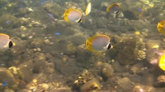 Panda butterflyfish Stock Footage