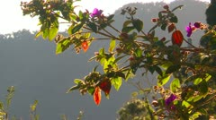 Stock Video Footage of back lit flower blossom trees, Panama highlands