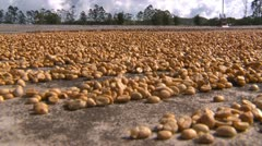 Agriculture, coffee beens drying close up Stock Footage