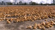 Stock Video Footage of agriculture, coffee beens drying close up