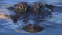 American Alligator Close-Up - stock footage