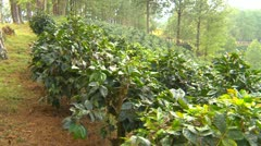agriculture, coffee plantation wide shot, pan - stock footage