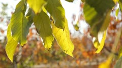 Autumn Leaves Macro Stock Footage