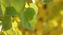 Leaves Backlit - stock footage