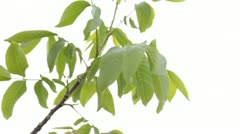 Leaves on White - stock footage