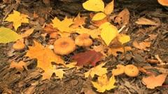 Indiana fall woods mushroom and leaves Stock Footage