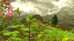 Hummingbird on branch - species: Magnificant hummingbird Stock Footage