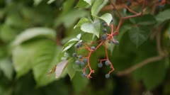 Wild Fruits Stock Footage