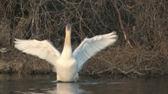 Mute Swan - stock footage
