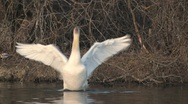 Stock Video Footage of Mute Swan