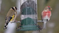 A linnet being chased away from a bird feeder by goldfinches. Stock Footage