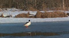 Goosander walking on ice Stock Footage