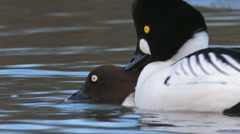 Common Goldeneye Mating Stock Footage