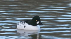 Common Goldeneye bird Stock Footage