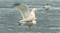 Mew Gull Stock Footage