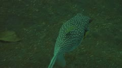 Whitespotted puffer Stock Footage