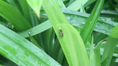 Pandan leaves in the rain with bee Stock Footage