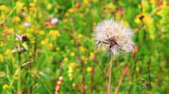 Close view of a wind dandelion swaying in the wind, ready to be blowed away Stock Footage