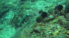 Black-spotted porcupinefish Stock Footage