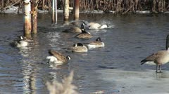 Canadian Geese in Water 02 - stock footage