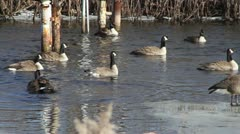 Canadian Geese in Water 01 - stock footage