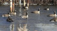 Canadian Geese in Water 01 Stock Footage