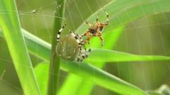 Spider - pair Stock Footage