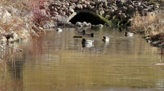 Ducks and Muskrat in Small River Stock Footage