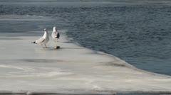 2 Seagulls on Ice with Dead Fish 01 - stock footage
