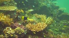Bicolor angelfish Stock Footage