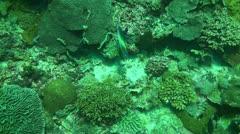 Semicircle angelfish Stock Footage