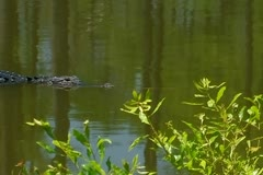 Alligator slowly swimming in swamp waters Stock Footage