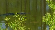 Stock Video Footage of Alligator slowly swimming in swamp waters