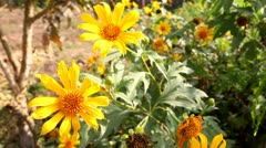 Close up of Maxican Sunflower - stock footage