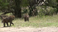 Olive baboons Stock Footage