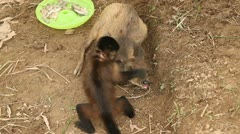 Stock Video Footage of Monkey playing