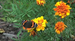 Marigolds and black & oranage butterfly Stock Footage