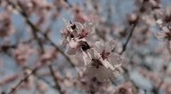 Bees on Flowering Tree, Spring Season, Pollination Stock Footage