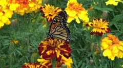 Marigolds and Monarch butterfliy Stock Footage