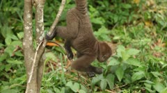 Monkeys Stock Footage