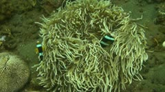 Clark s Anemonefish Stock Footage