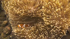 False clownfish - stock footage