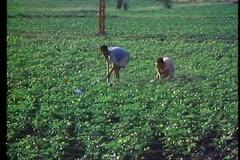 The Delta, two men hoeing cotton field, medium shot Stock Footage