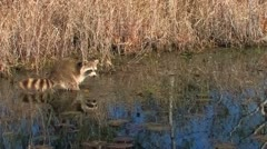 Raccoon looking for food in swamp at sunrise in Florida everglades Stock Footage