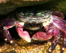 Stock Video Footage of Crab V3 - PAL